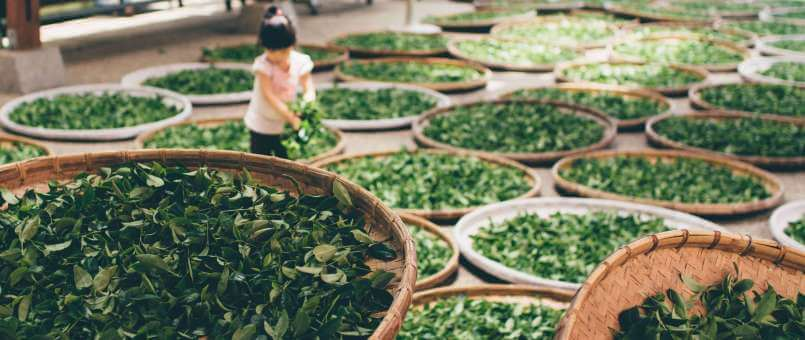 You Have Been Drinking Green Tea All Wrong